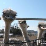 その数1000羽! 日本最大のダチョウ牧場「ダチョウ王国」【茨城】