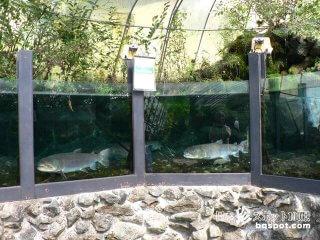 日本最大の淡水魚イトウとなつかしい匠の館「森の水族館」【岐阜】