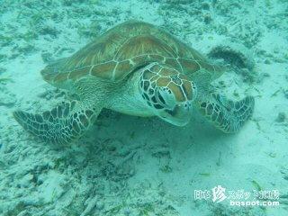 高確率でウミガメと一緒に泳げる海「トカシクビーチ」【渡嘉敷島】