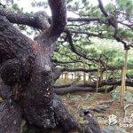 自然に横に広がって育つ不思議な松「五枝の松」【久米島】